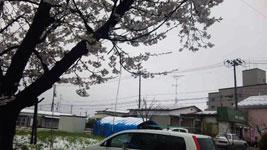 yukitosakura.jpg